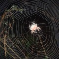 Araignée de Tsingy