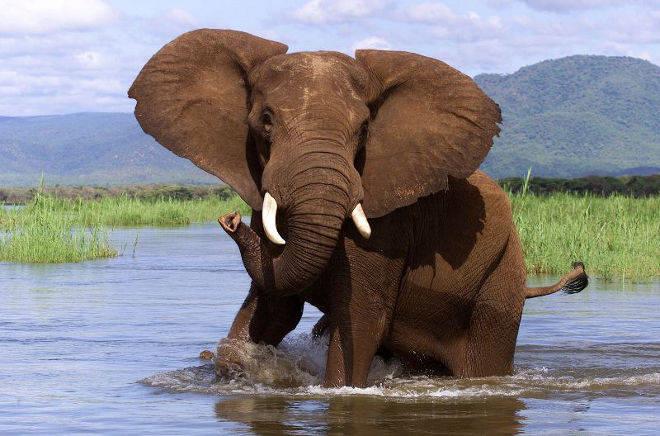 éléphant du parc de chob
